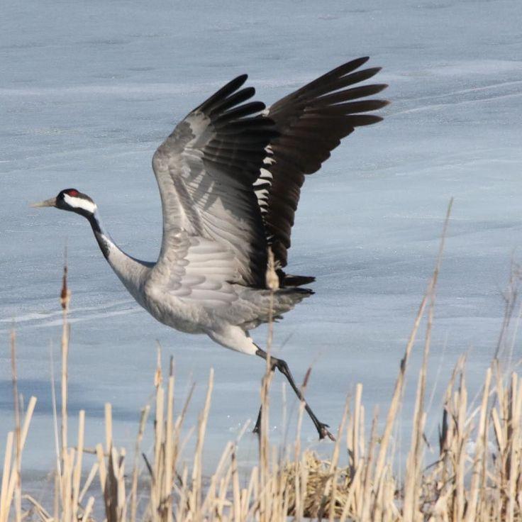 #kurki #linnut #kevät #muuttolinnut #crane #birds #spring