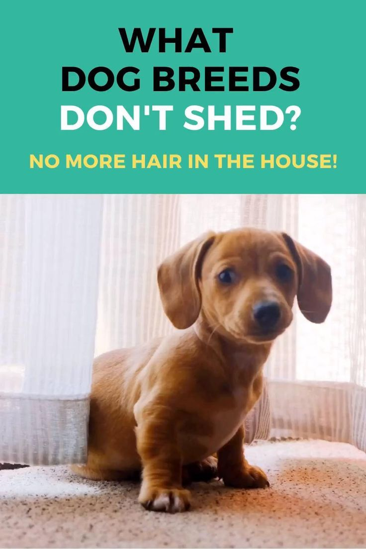What Dog Breeds Don T Shed No Dog Hair In Your House In 2020 Dogs What Dogs Dog Breeds