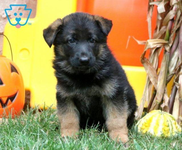 German Shepherd Puppies For Sale Puppy Adoption Keystone Puppies Shepherd Puppies German Shepherd Puppies Puppy Adoption