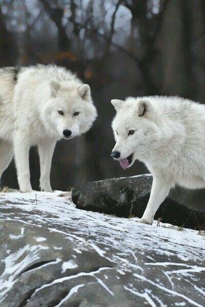 Lupi bianchi. Bellissimi.