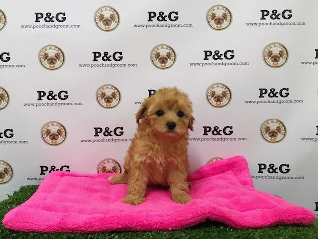 Maltese-Poodle (Toy) Mix puppy for sale in TEMPLE CITY, CA. ADN-40360 on PuppyFinder.com Gender: Female. Age: 7 Weeks Old