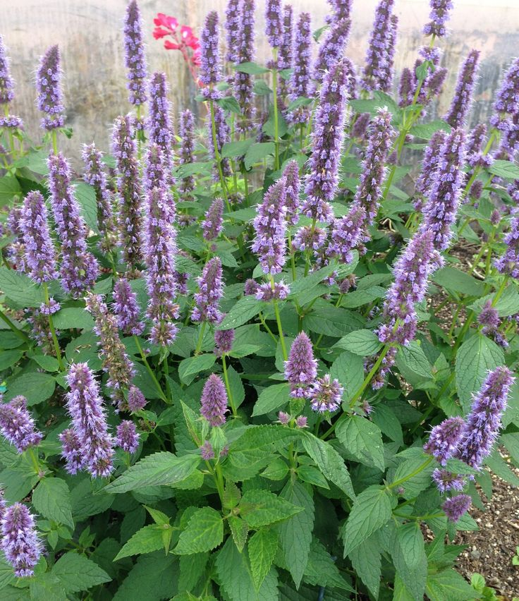 agastache blue fortune blue flowering pinterest blue plants trumpet and spikes. Black Bedroom Furniture Sets. Home Design Ideas