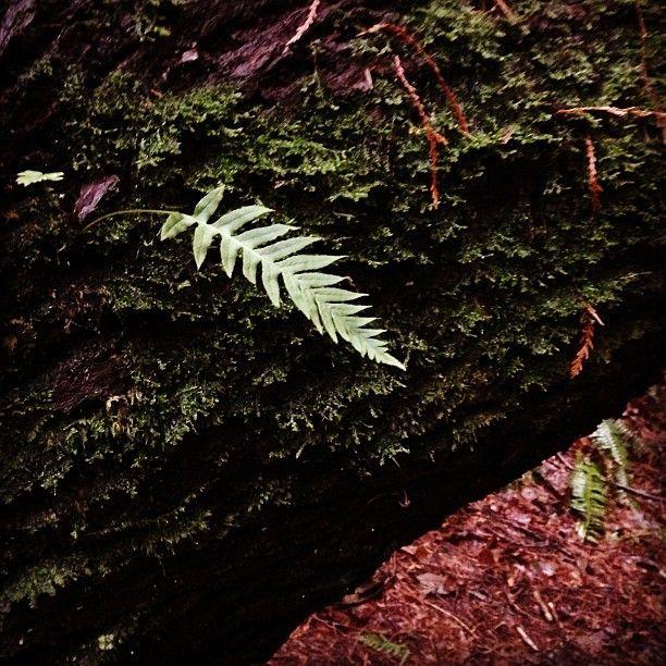 Licorice #fern encounter, Polypodium glycyrrhiza — instagram by @fernwoodsy