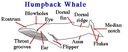 TONS of things you want to know about all kinds of whales at Enchanted Learning