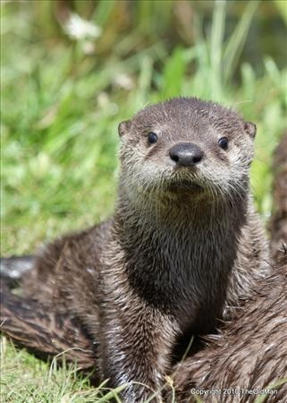 Yellowstone National Park - Otters of Otter Lake