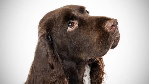 Field Spaniel | Somewhat longer than tall, solidly built with moderate bone, the field spaniel is a dog without exaggeration, a combination of beauty and utility.