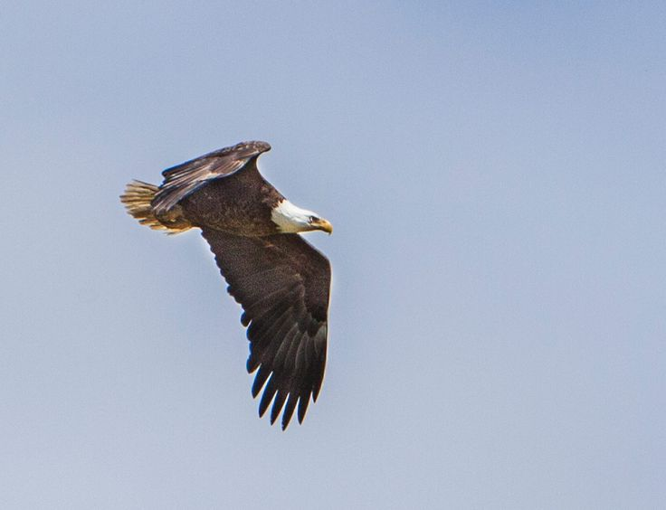 Eagle near Lockwood Folly River from Michael Boswell
