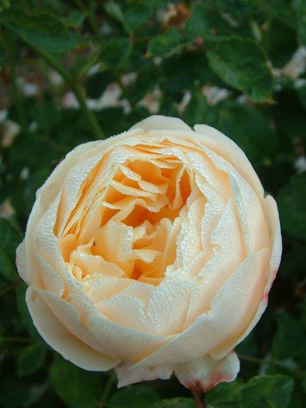 Charlotte (Auspoly) - David Austin Inglês Rosas - rosas velhas do jardim - Rose Catálogo - Tasman Bay Rosas - comprar rosas online na Nova Zelândia