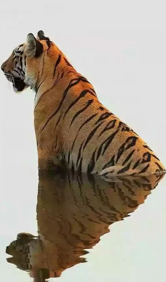 ** There is nothing mysterious to a tiger in a lake unless it is the lake…