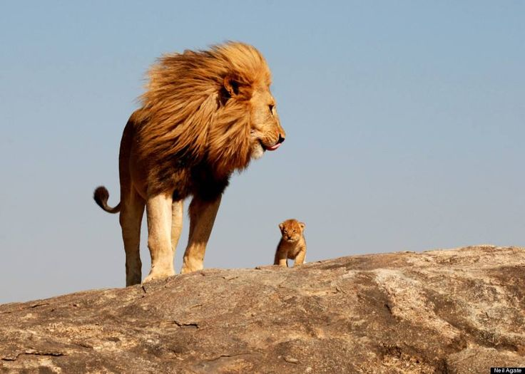 This Is The Lion King's 'Simba' And 'Mufasa' In Real Life. Photographer Neil Agate captured this scene, reminiscent of The Lion King