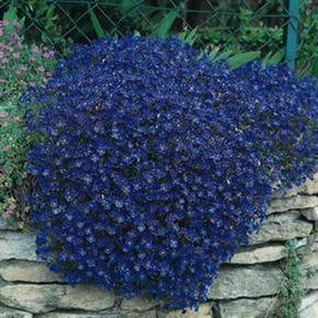 50 Semi di luminoso blu Rock Cress AUBRIETA fiori di Seedsbycheryl