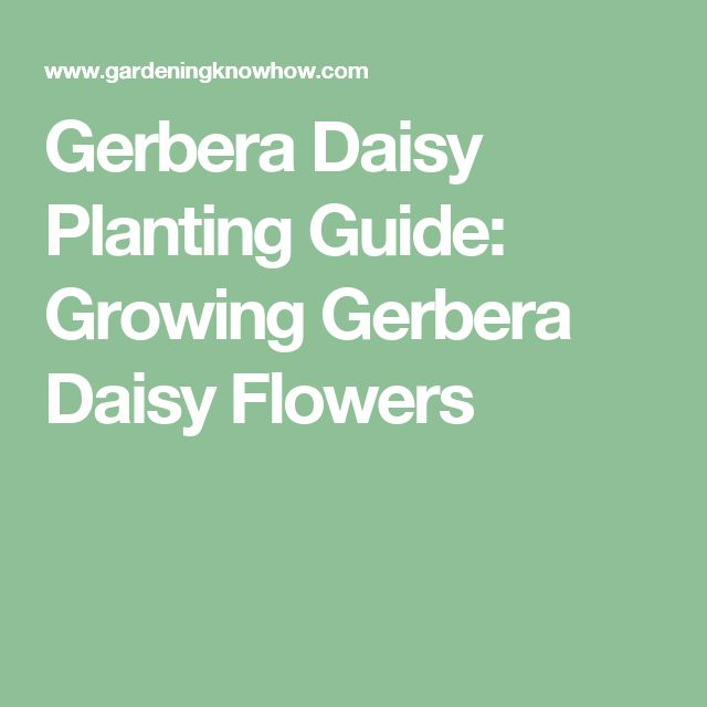 Gerbera Daisy Planting Guide: Growing Gerbera Daisy Flowers