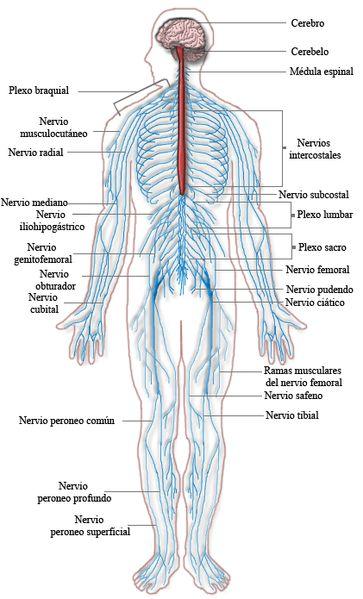El sistema nervioso periférico es un conjunto de nervios y ganglios que controlan las funciones motoras y sensoriales. Transmite información desde el cerebro y la médula espinal a todo el organismo.El sistema nervioso humanose divide en sistema nervioso central y sistema nervioso periférico. El...