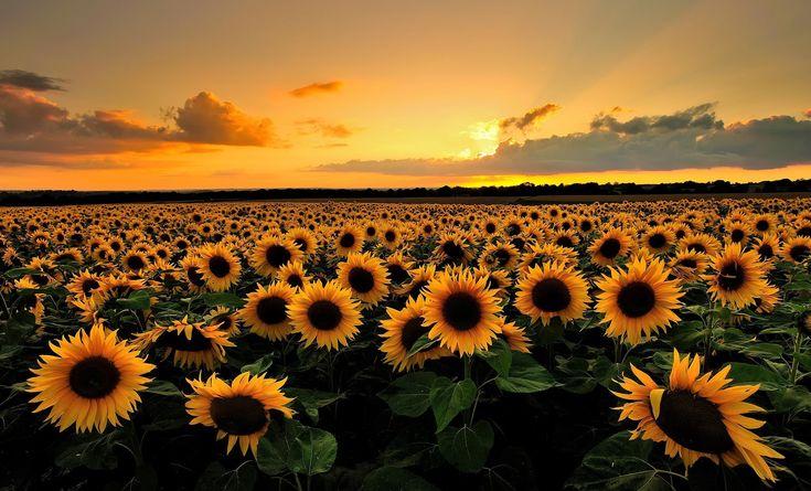 2048x1240 free desktop wallpaper downloads sunflower