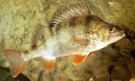 okoun říční - sladkovodní ryba, v České republice je tento druh velice hojně rozšířen