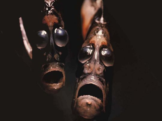 Hatchet fish - real deep sea creature