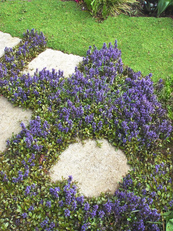 "I want this for around my trees. Ajuga - Ground Cover (Bugleweed) / Great planted among stepping stones.  Plant with ""Liriope"" which attracts BLUEBIRDS. (Both are great under trees or shrubs to keep down weeds)"