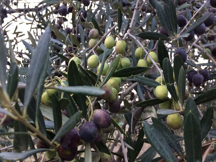 Lechin olives Just before the crop