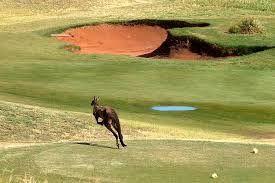 Kangaroos on Links Lady Bay Golf Course, South Australia - on the way to #Kangaroo Island