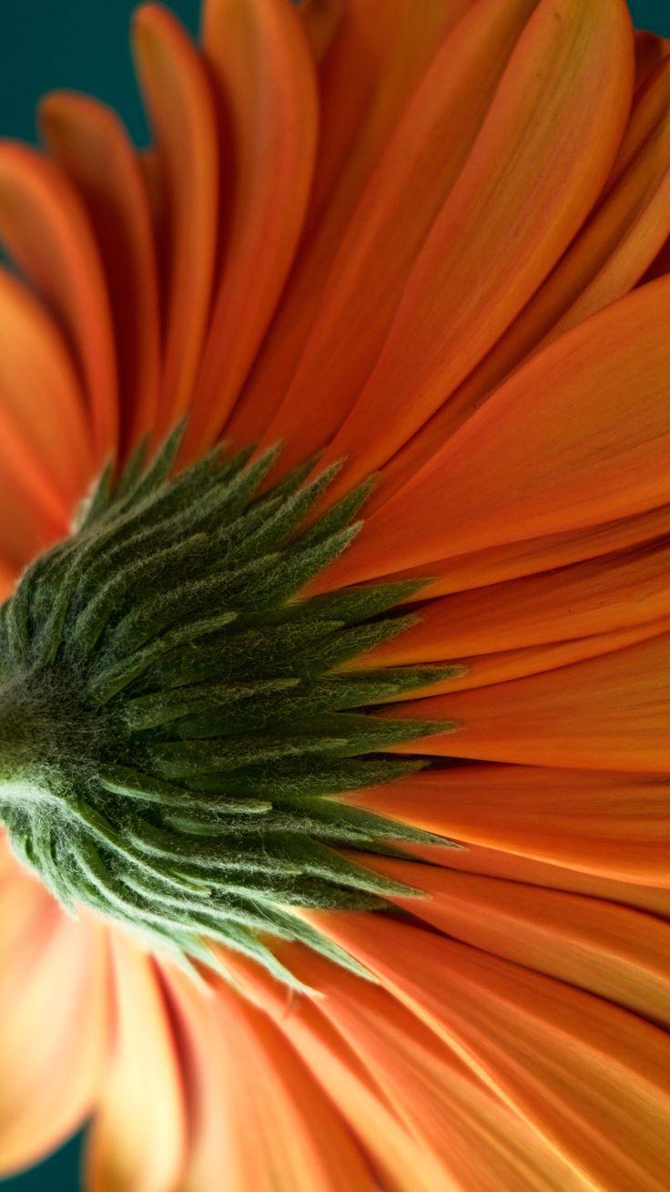 Orange Daisy gerbera macro photography    attunedphotography.com