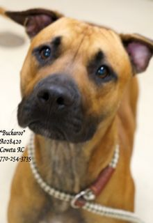 """A-2 EXTREMELY URGENT! LAST CHANCE! THIS PET WILL DIE WEDNESDAY 10/08/14! Breed: Boxer, Terrier Mix Sex: Male Age: Adult (1 year per shelter notes) Size: Medium Weight: ID: A028420 Shelter Name: """"Buckaroo"""" Vaccinated, Heartworm NEGATIVE PLEASE CONTACT COWETA COUNTY ANIMAL CONTROL TO ADOPT THIS PET: 770-254-3735. The address is 91 Selt Road, Newnan, GA. Oh """"Buckaroo""""....what a charming character you are! ..."""