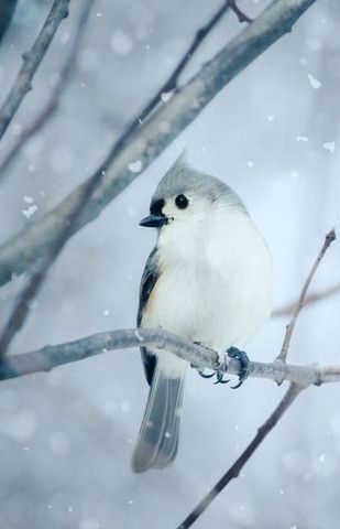 Fine art bird photography print of a beautiful little tufted titmouse in the…