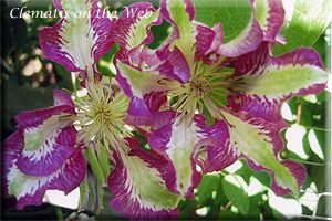 Unusual Clematis   Clematis 'Barbara Ann's Lace'