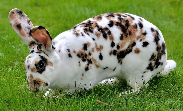 Dalmatiner Rex Rabbit | Flickr - Photo Sharing!