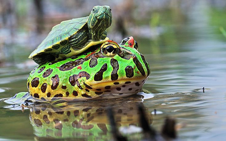 A baby turtle hitches a ride on a bullfrog in one of a series of stunning shots captured by photographer Shi Khei Goh in the forests of Batam, Indonesia. He also snapped... Picture: Shi Khei Goh/MEDIA DRUM