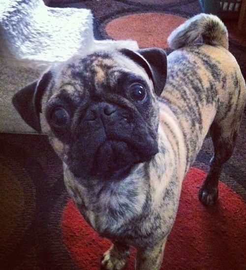 is that a brindle pug????  i want one!!!