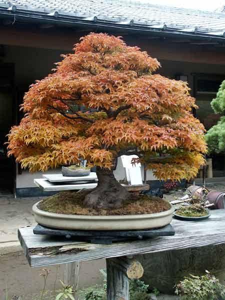 Bonsai in the fall