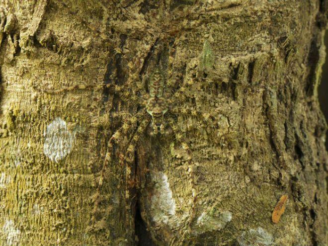 A 'aranha-líquen' se mistura a uma árvore, no Parque Nacional de Erawan, na Tailândia. Foto: Caters
