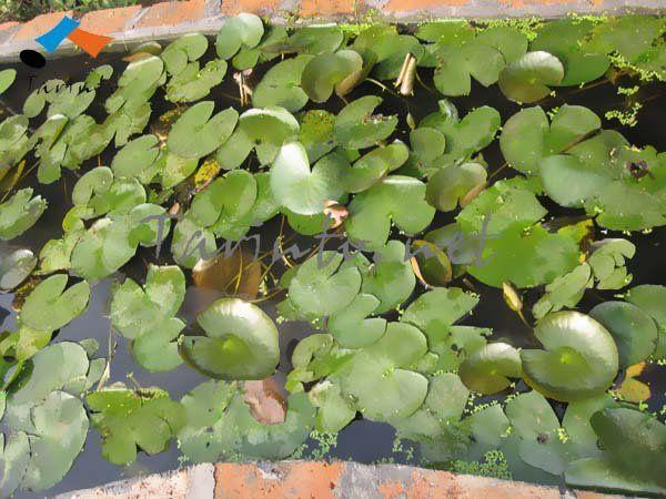 002 Lotus   Water plantsAquatic Plants With Names