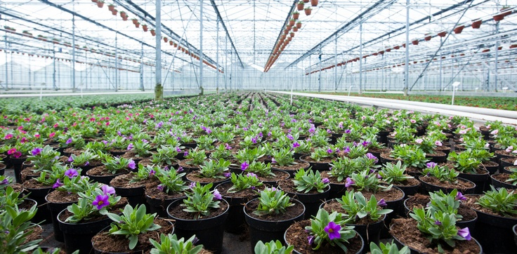 Commercial Greenhouse with a nice crop of flowers.