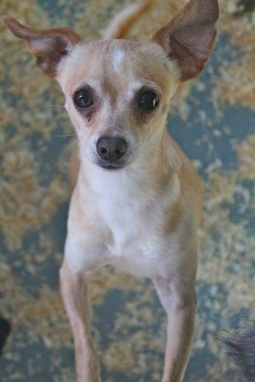 Check out Rabbit's profile on AllPaws.com and help her get adopted! Rabbit is an adorable Dog that needs a new home. https://www.allpaws.com/adopt-a-dog/chihuahua/1730997?social_ref=pinterest