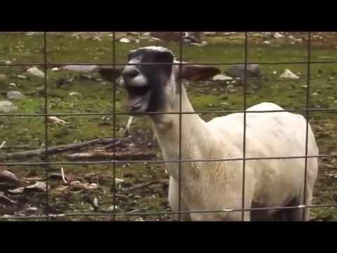 Funny Goats Screaming like Humans - YouTube  Mom Screaming Goats Funny