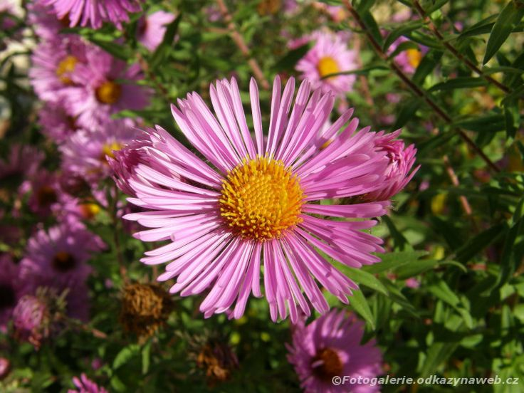 Listopadka (Chrysanthemum)