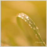 Yellow grass with water droops. Allt kan grönska - fotograf Maria Berg