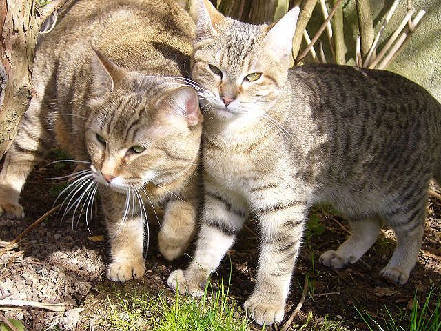 Can Bobcat And Domestic Cat Mate