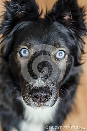 Attentive blue eyed Border collie Husky mix close up portrait, focus is on dog`s nose