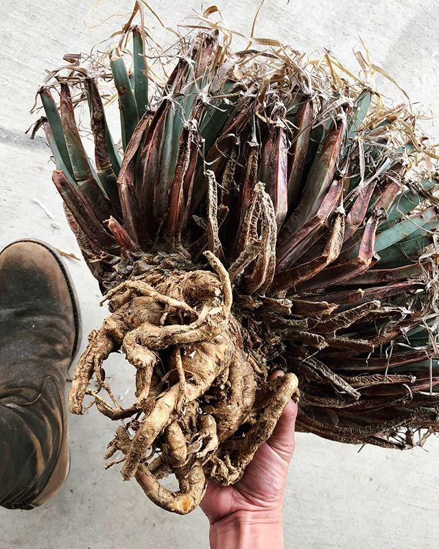 . . . . . specimen . . . . . . . #neighborhood #specimenresearchlaboratory #srl #agave #vintage #plants #succulents #flower #green #garden #flowers #cactus #caudex #botanical #fashion #rock #la #california #sandiego #アガベ #サボテン#多肉植物 #観葉植物 #フラワー#ファッション #ロック #ボタニカル #ボタニカルアート#ボタニカルライフ