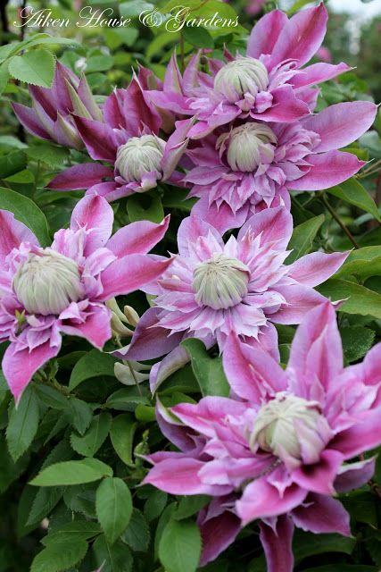 Josephine clematis.  A must have add to my garden in 2014