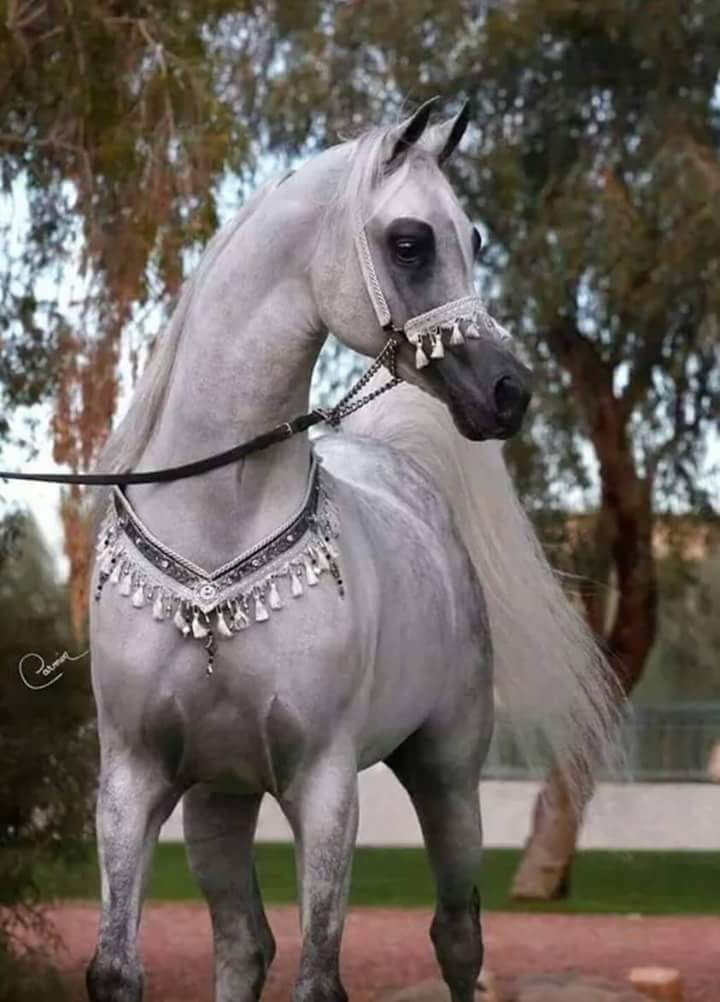 صوره حصان جميل Beautiful Arabian Horses Horses Pretty Horses