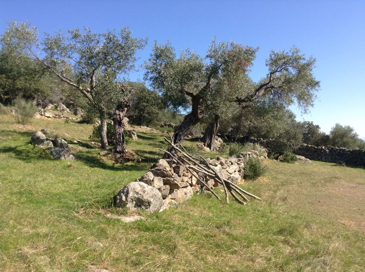 Preparing our olivetrees