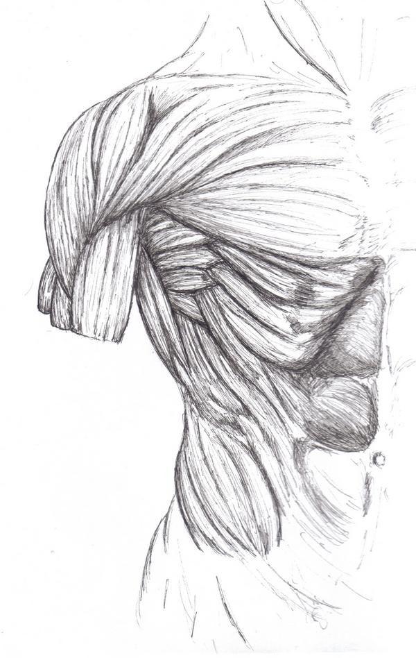 144 besten Skeletal Muscles Bilder auf Pinterest   Menschliche ...