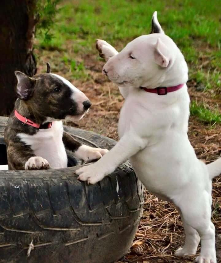 1714 Best Images About Bull Terriers On Pinterest White