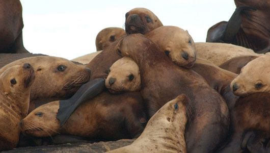 The eastern Steller sea lion, which roams the West Coast between Alaska and California, has been taken off the U.S. Endangered Species List ...