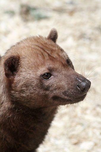 """El perro venadero o zorro vinagre (Speothos venaticus) En algunas partes de Argentina se le llama """"zorro vinagre"""", pero por su pequeño tamaño, hábitos, cola corta y apariencia de perro doméstico, este cánido no tiene ningún parecido con el zorro."""