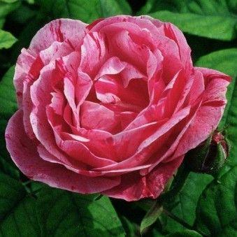 17 Best Images About Rose Garden On Pinterest Garden