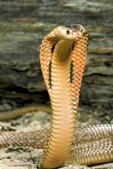 "Cobra, beautiful but poisonous.   (KO) Beautiful with an attitude. Cobras don't ""play nice with others"". All attitude and nasty temper, but he's so cute! Would love to tickle him under the chin (if he wouldn't kill me). He doesn't mean to be knucklehead!"
